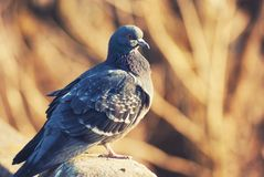 Il piccione fiero della colomba prende il sole sulla molla calda aprile del sole del sole dei raggi Immagine Stock