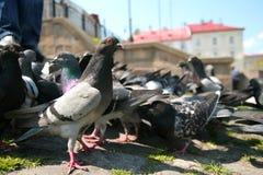 Il piccione guarda nella condizione dell'immagine Fotografia Stock Libera da Diritti
