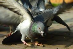 Il piccione ha catturato il seme Fotografie Stock Libere da Diritti