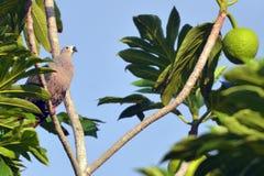 Il piccione imperiale pacifico si siede su un albero di alberi del pane a Rarotonga Co Fotografia Stock