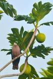 Il piccione imperiale pacifico si siede su un albero di alberi del pane a Rarotonga Co Fotografie Stock