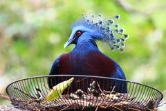 Il piccione incoronato è nel nido immagine stock