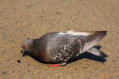 Il piccione mangia i semi Fotografia Stock