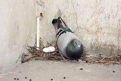 Il piccione mangierà dopo i semi Immagine Stock Libera da Diritti