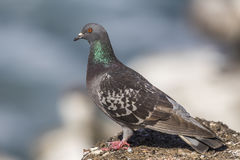 Il piccione selvatico si è appollaiato su una roccia che trascura l'oceano Pacifico - San fotografia stock libera da diritti