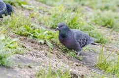 Il piccione selvatico sta alimentandosi fotografia stock libera da diritti