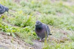 Il piccione selvatico sta alimentandosi fotografia stock