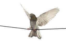 Il piccione si è appollaiato su un collegare elettrico con la sua diffusione delle ali Fotografia Stock