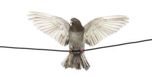 Il piccione si è appollaiato su un collegare elettrico con la sua diffusione delle ali Fotografia Stock Libera da Diritti