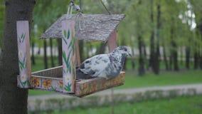 Il piccione si siede su un alimentatore rotto dell'uccello nel parco Uccello nell'alimentatore all'aperto video d archivio