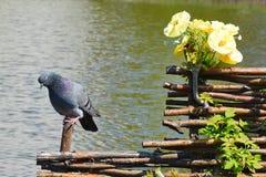 Il piccione si siede su una rete fissa Fotografia Stock
