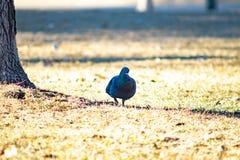 Il piccione solo riposa nella tonalità di un albero gigante fotografia stock