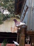 Il piccione sta collocando nel bambù immagine stock
