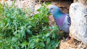 Il piccione sta nella lacuna della roccia Immagini Stock Libere da Diritti