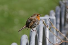 Il piccoli uccello del pettirosso/rubecula del Erithacus si è appollaiato le inferriate del recinto del metallo del onm fotografie stock