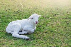 Il piccolo agnello è stato posto per riposare in un campo dell'azienda agricola sopra Fotografie Stock