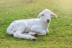 Il piccolo agnello è stato posto per riposare in un campo dell'azienda agricola sopra Fotografia Stock Libera da Diritti