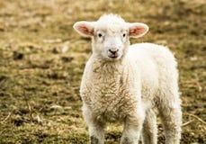 Il piccolo piccolo agnello cerca dal campo un giorno di inverno di sera Fotografia Stock