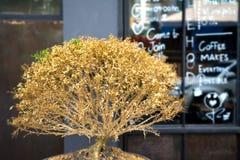 Il piccolo albero asciutto è davanti alla caffetteria Fotografia Stock Libera da Diritti