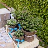 Il piccolo albero di Cuties in vasi da fiori ed il nastro sono regalo per lo speciale Fotografia Stock Libera da Diritti