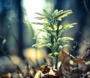 Il piccolo albero forestale sta crescendo in molla in anticipo Immagine Stock