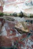 Il piccolo alligatore che controlla l'acqua dello stagno Fotografie Stock
