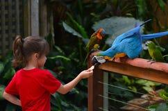 Il piccolo bambino alimenta un'ara dell'oro e del blu Fotografie Stock Libere da Diritti