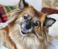 Il piccolo cane è felice fotografie stock libere da diritti