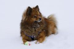 Il piccolo cane decorativo gioca la palla dell'inverno Fotografie Stock