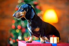 Il piccolo cane della razza del bassotto tedesco si siede su un grande contenitore di regalo Fotografia Stock