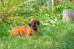 Il piccolo cane di Brown si trova sul prato fra erba verde fertile Fotografia Stock