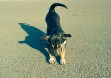 Il piccolo cane divertente sta allungando sull'asfalto Immagini Stock