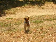Il piccolo cane esamina qualcosa Fotografie Stock