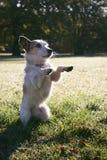 Il piccolo cane ibrido si siede su ed elemosina immagini stock