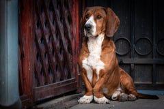 Il piccolo cane marrone sveglio difende il portone della casa fotografia stock libera da diritti