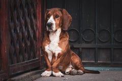 Il piccolo cane marrone sveglio difende il portone della casa fotografia stock