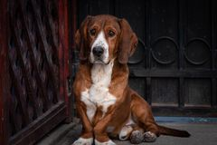 Il piccolo cane marrone sveglio difende il portone della casa immagini stock libere da diritti