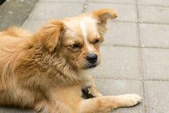 Il piccolo cane mette su un sentiero per pedoni ed il pensiero all'alimento fotografia stock libera da diritti