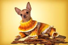 Il piccolo cane nel giallo Fotografia Stock