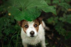 Il piccolo cane nella pioggia si nasconde sotto una foglia immagini stock libere da diritti