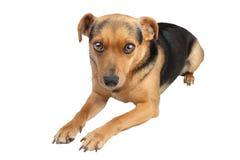Il piccolo cane si siede isolato Fotografia Stock