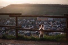 Il piccolo cane sta facendo una pausa il recinto al tramonto Animale domestico sulla natura Fotografie Stock Libere da Diritti