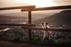 Il piccolo cane sta facendo una pausa il recinto al tramonto Animale domestico sulla natura Immagini Stock Libere da Diritti