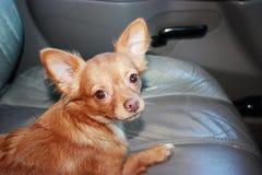 Il piccolo cane sveglio si siede nell'automobile Immagini Stock