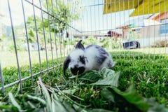 Il piccolo coniglietto sveglio sta mangiando l'insalata, il composto all'aperto, erba verde immagine stock