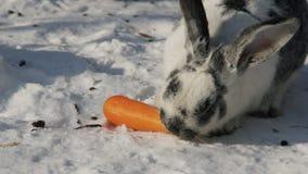 Il piccolo coniglio irsuto sveglio con le grandi orecchie mangia la carota su neve nell'inverno stock footage