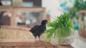 Il piccolo corvo della mano si alimenta l'erba foraggera stock footage