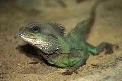 Il piccolo drago Fotografia Stock