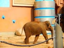 Il piccolo elefante si è esaurito per camminare, allontanarsi dalla mamma Fotografie Stock