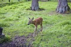 Il piccolo fawn va percorso dentro, parco nazionale di Bialowieza Fotografia Stock Libera da Diritti